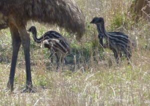 We usually see an Emu or two with his chicks. photo Sonya Duus