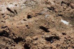 Emu Footprints,  photo by Jill Sampson