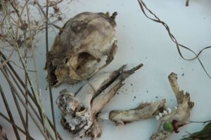 Bone fragments found at Bimblebox,  photo by Jill Sampson