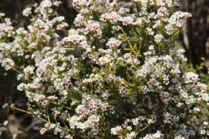 Flowering in the heathland, photo Jill Sampson