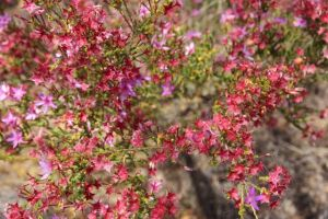 Flowering in the heathland, photo by Jill Sampson