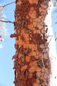 Bark on Bimblebox, photo by Jill Sampson