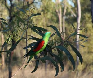 Red Winged Parrot, Bimlebox, photo by Jill Sampson