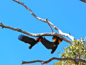 Red-tailed Black Cockatoos visited our campsite for the day in 2013.