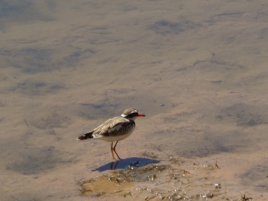 Black-fronted Dotterel at the Bimblebox Nature Refuge, photo Sonya Duus