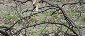Grey-fronted Honeyeaters after control burn at the Bimblebox Nature Refuge, photo Sonya Duus