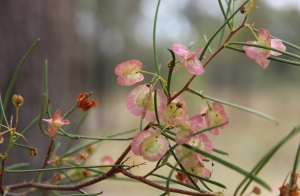Bimblebox flowers, photo Jill Sampson, 2014.