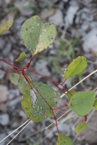 Leaves of the Bimblebox tree, Eucalyptus Populnea, photo Jill Sampson, 2014.
