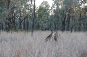 Kangaroos on Bimblebox, photo Jill Sampson 2014.