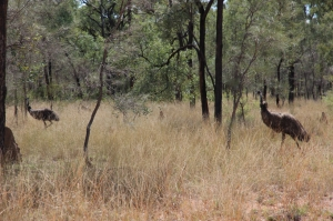 Emus at Bimblebox, photo Jill Sampson, 2014