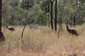Emus at Bimblebox, photo Jill Sampson, 2014