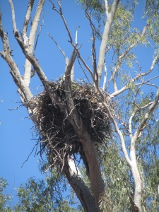 A wedge-tail eagle's nest - a serious installation indeed, as was the kitchen of discarded bones below.